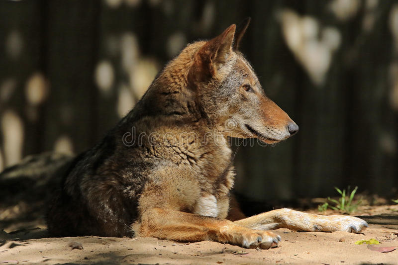 Red Wolf. Close up portrait of extinct in the wild Florida Wolf royalty free stock photos