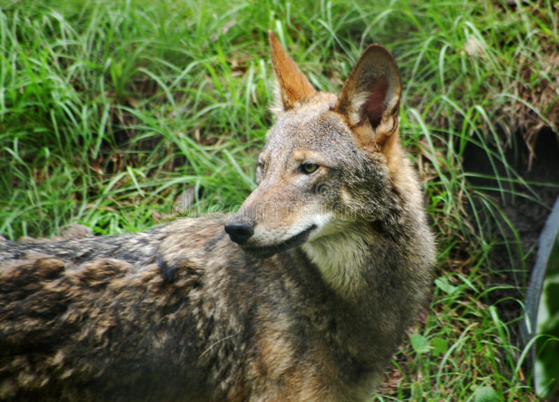 Red wolf endangered species. Ed Wolf, morpholocially an intermediate between a coyoteand gray wolf. Federally listed as an endangered species of United States stock image