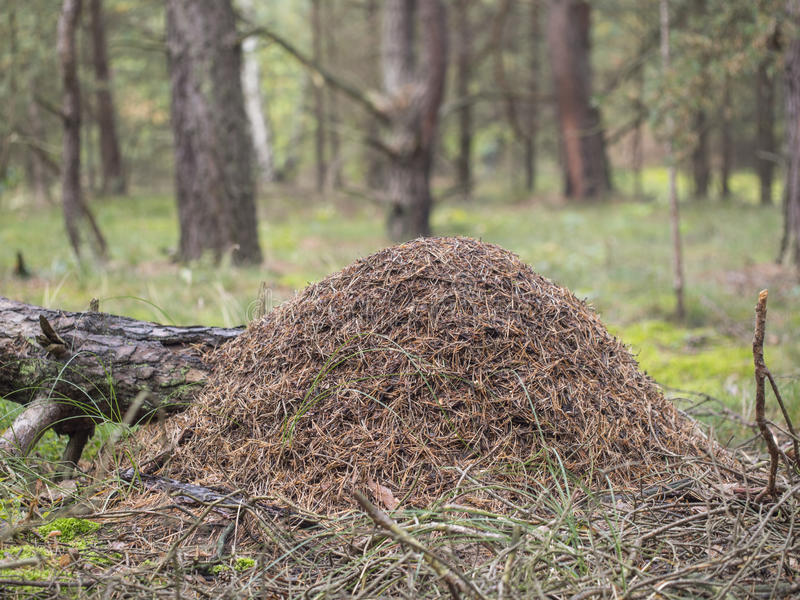 Red wood ant, anthill, Formica rufa. Red wood ant, anthill - Formica rufa stock photography