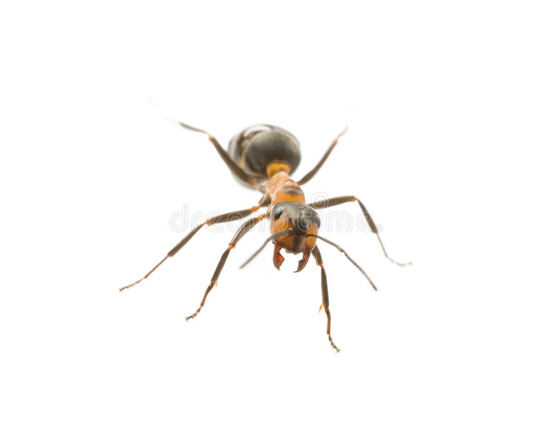 Red wood ant Formica rufa close up. Macro photography royalty free stock photography
