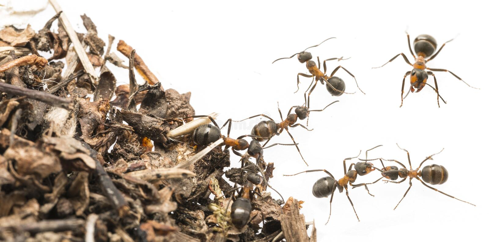 Red wood ant Formica rufa close up. Macro photography stock photos