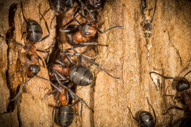 Red wood worker ants in spring building on their nest, working royalty free stock photos