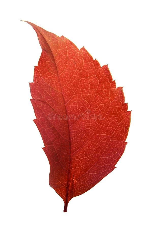 Red woodbine leaf