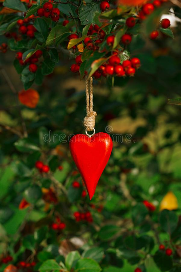 Red wooden heart hanging on a tree with red berries royalty free stock image