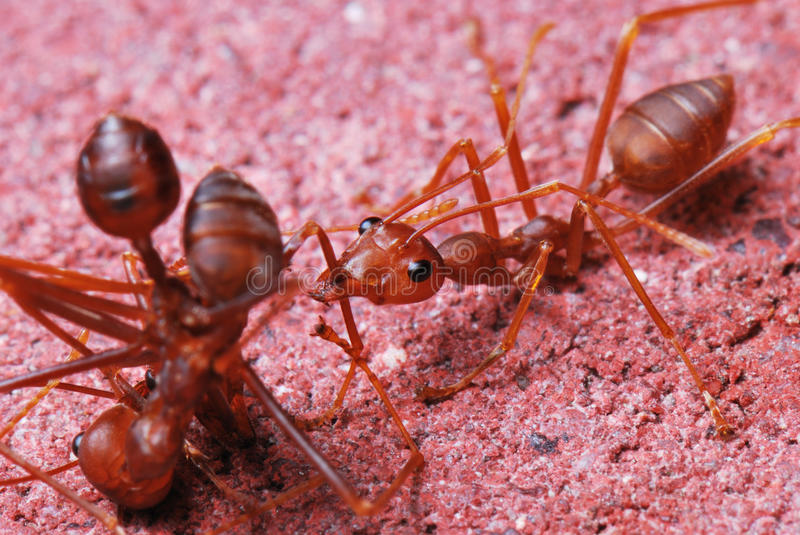 Red worker ant working royalty free stock images
