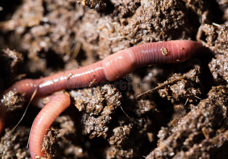 Red worms in compost. macro royalty free stock photography