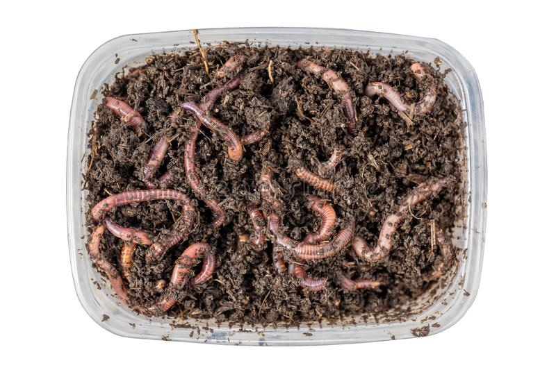 Red worms Dendrobena in a box in manure, earthworm live bait for fishing isolated on white background. Close up and top view stock photo