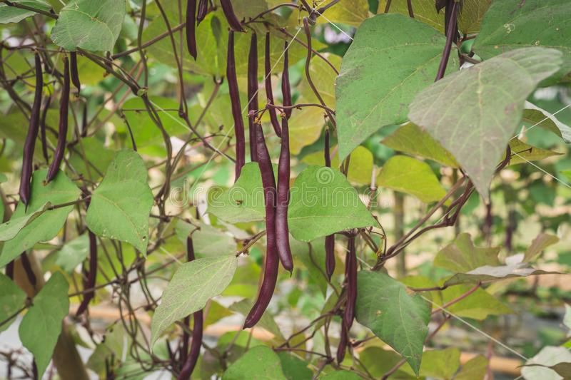 Red yard long bean plantation on field agricuture. stock photography
