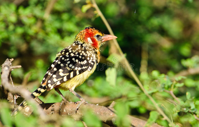 Red -and-yellow Barbet royalty free stock photography