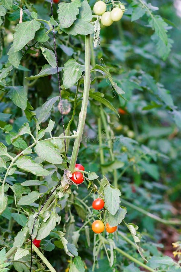 Red and yellow Cherry tomatos stock photo