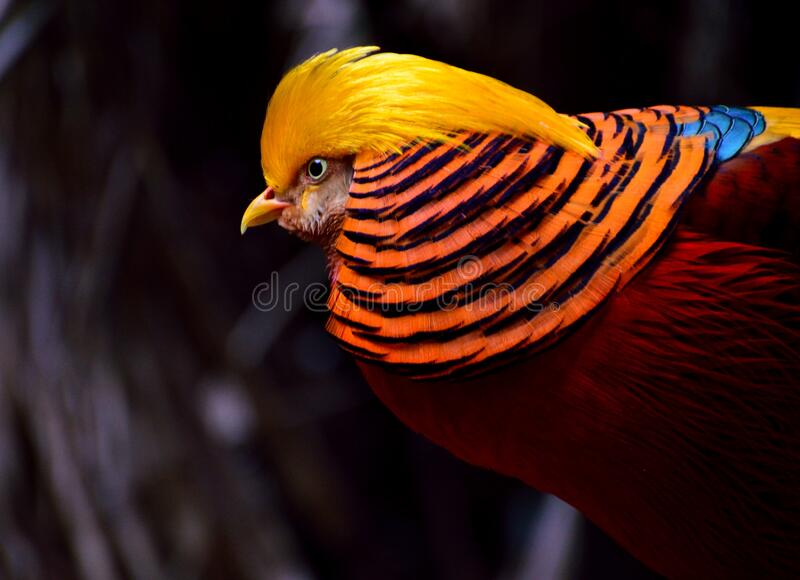 Red And Yellow Chicken Free Public Domain Cc0 Image