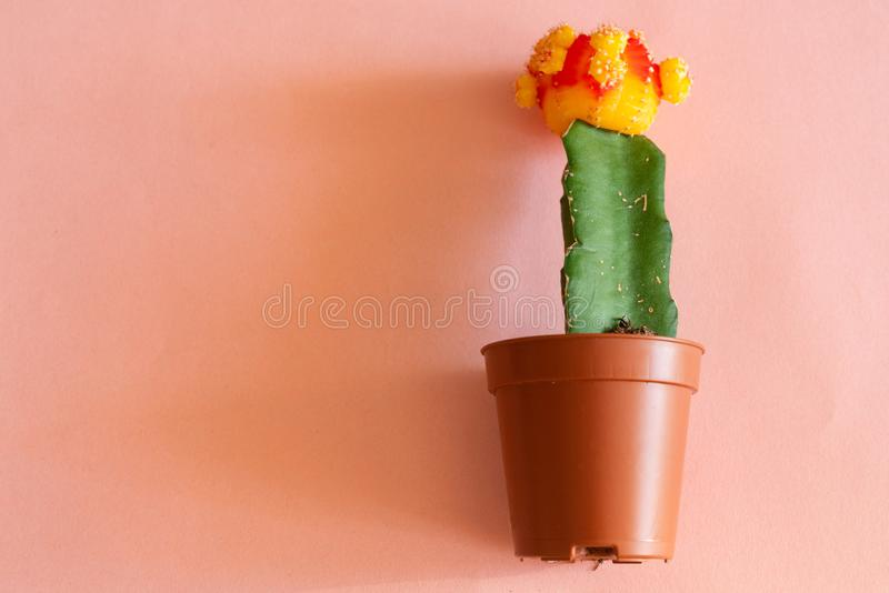 Red and yellow color of gymnocalycium mihanovichii cactus in the mini plant pot on the pink background royalty free stock images