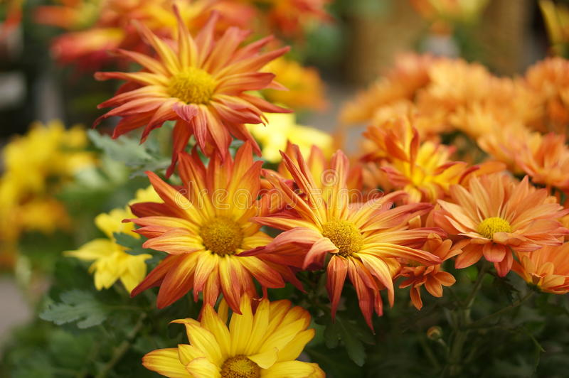 Red and yellow Daises royalty free stock images