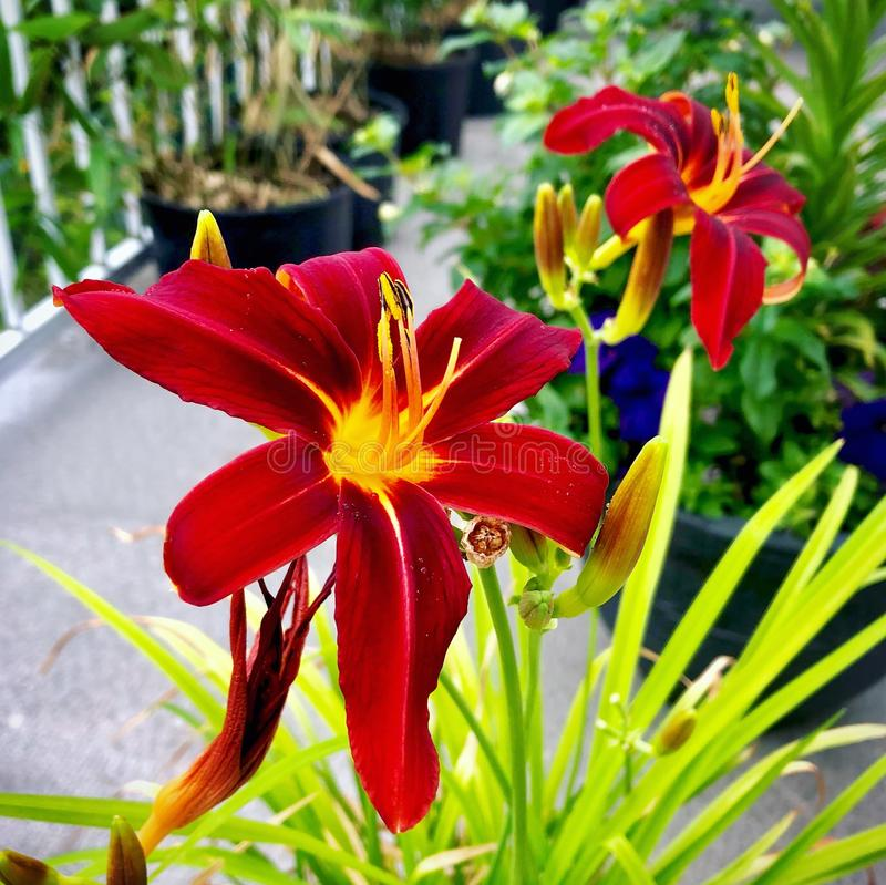 Red and yellow Daylily's. Red and yellow day lilies in a garden flowers flower stock photo