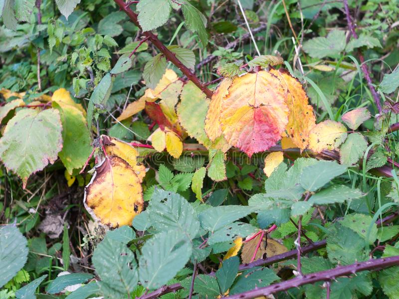 Red and yellow dead and diseased leaves outside stock photos