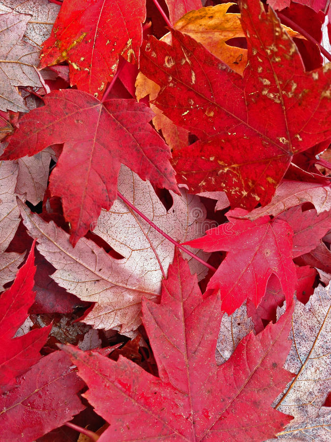Red yellow fall autumn leaves on the ground. Close up of red and yellow fallen leaves on the ground in October royalty free stock image