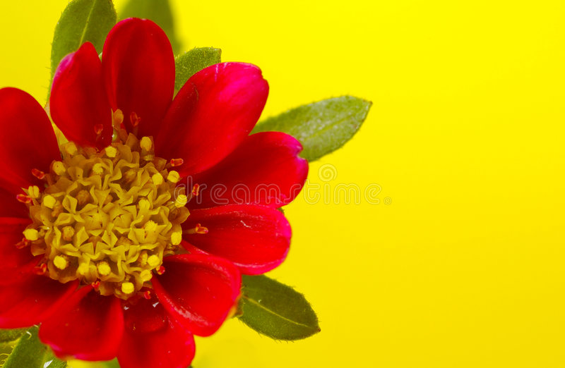 Download Red and Yellow Flower stock photo. Image of petal, yellow - 170186