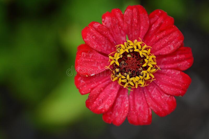 Red and Yellow Flower royalty free stock image