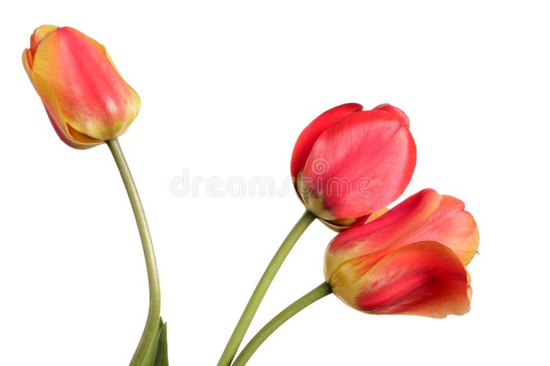 Red-yellow Flower bouquet. Three tulips isolated on a white stock photos
