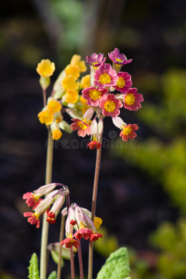 Red and yellow flower outdoor shot, blurred backround royalty free stock images