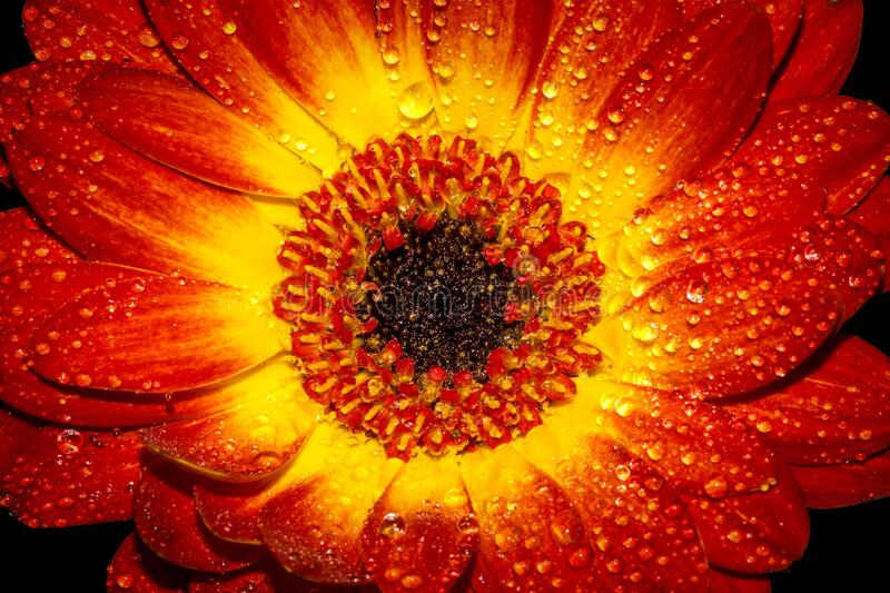 Red and Yellow Flower With Water Sprinkles royalty free stock photo