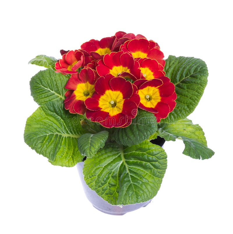 Download Red And Yellow Flowering Potted Primrose Stock Photo - Image: 23082112