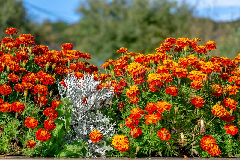 Red and yellow flowers in a city flower bed. White leaves of Senecio cineraria surrounded by marigold flowers royalty free stock photography