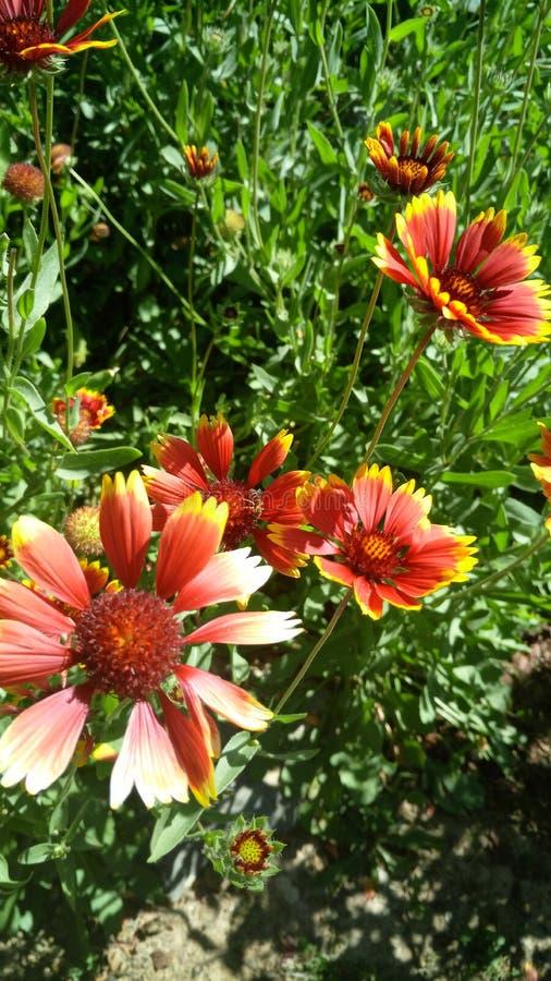 Red and yellow flowers Gaillardia pulchella stock photography
