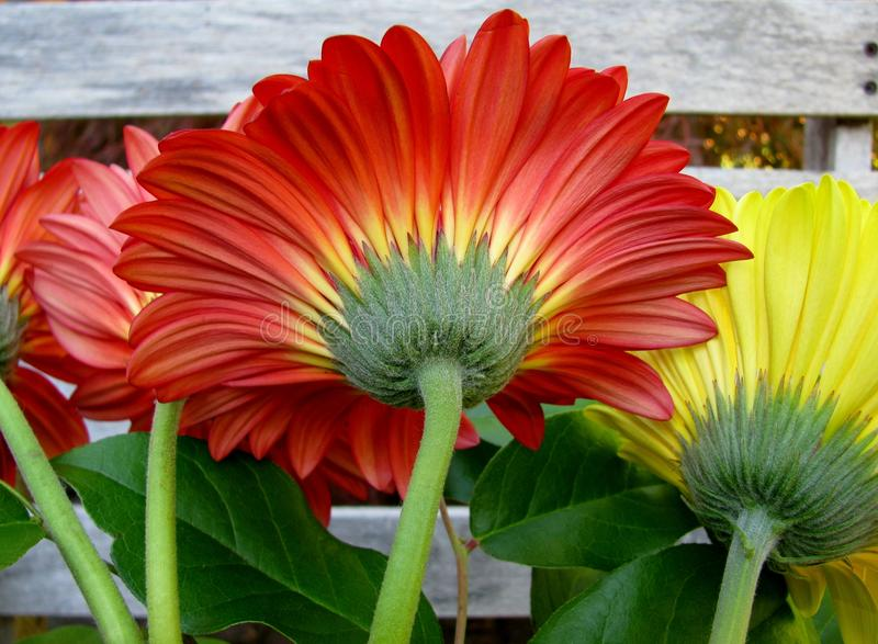 Red and yellow gerbera flower with green stem royalty free stock image
