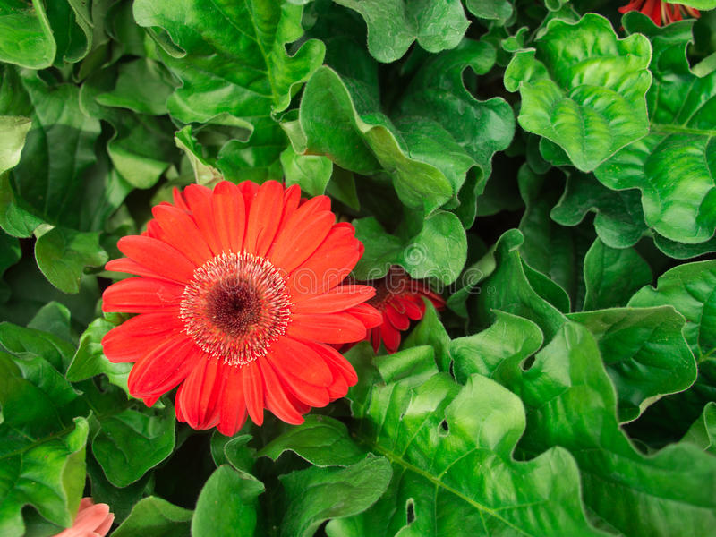 Red Yellow Gerbera Flowers Blooming royalty free stock images