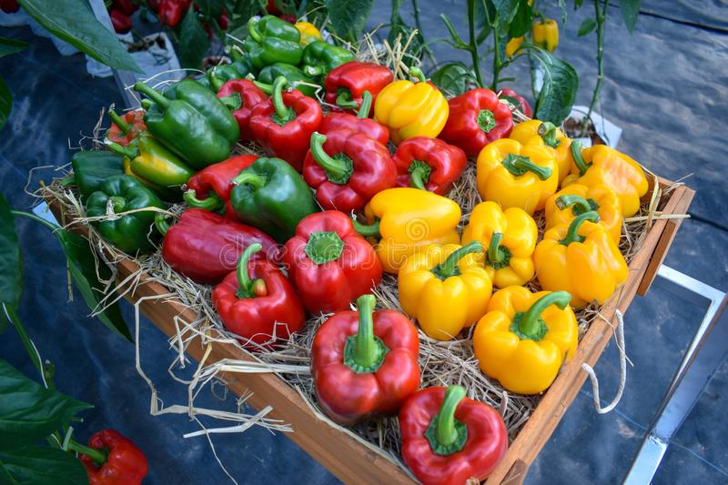 Red, yellow and green bell peppers on a wooden box with straw placed. stock image