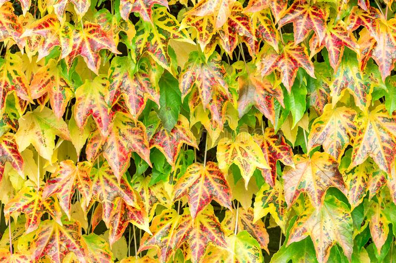 Red yellow and green leaves fall background. Natural fresh autumn pattern stock photography