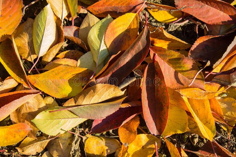 Autumn multicolored leaves on the ground. Red, yellow, green leaves fallen to the ground, under the cherry. Last warm days of autumn royalty free stock image