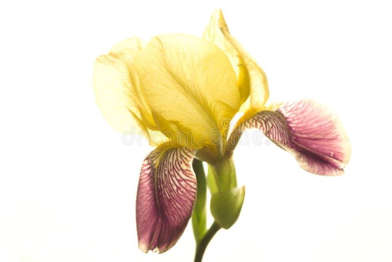Red-yellow iris flower stock photo