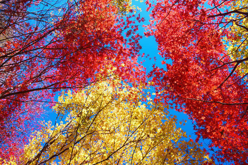 Red and yellow Japanese maple trees stock photography