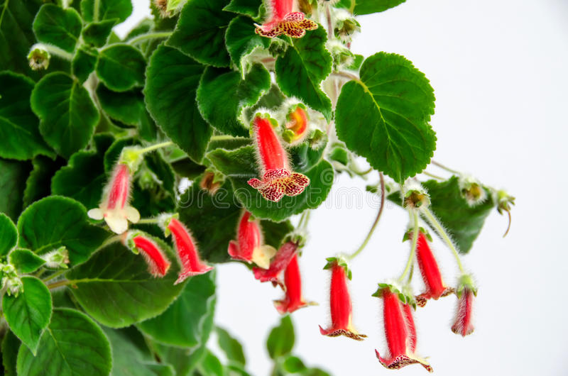 Red-yellow Kohleria flowers stock image