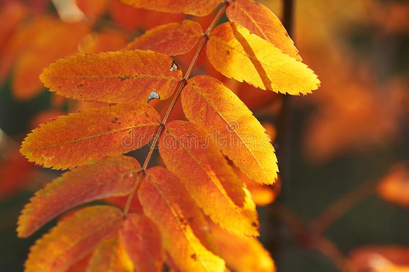 Yellow red leaves of mountain ash in the sunset. Nature background. Red-yellow leaves of mountain ash at sunset. Nature background royalty free stock photos