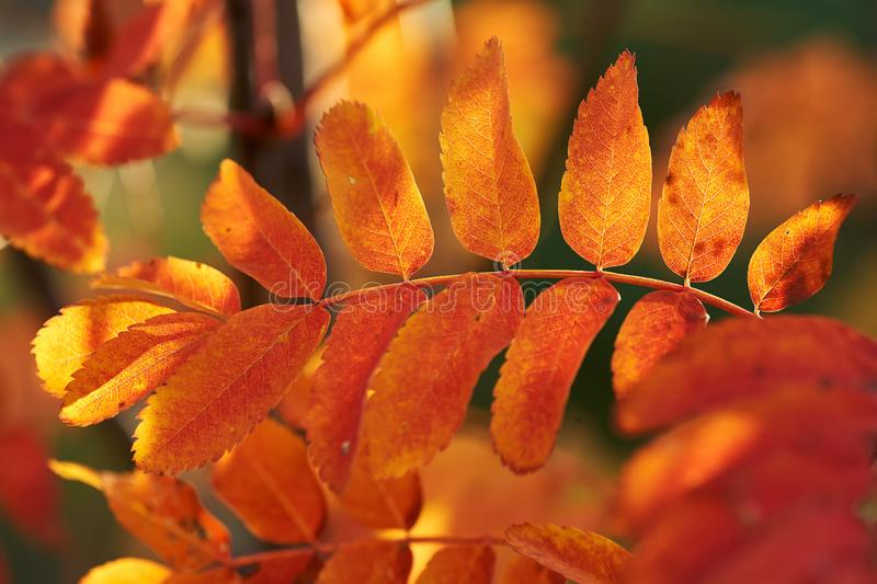 Yellow red leaves of mountain ash in the sunset. Nature background. Red-yellow leaves of mountain ash at sunset. Nature background royalty free stock photo