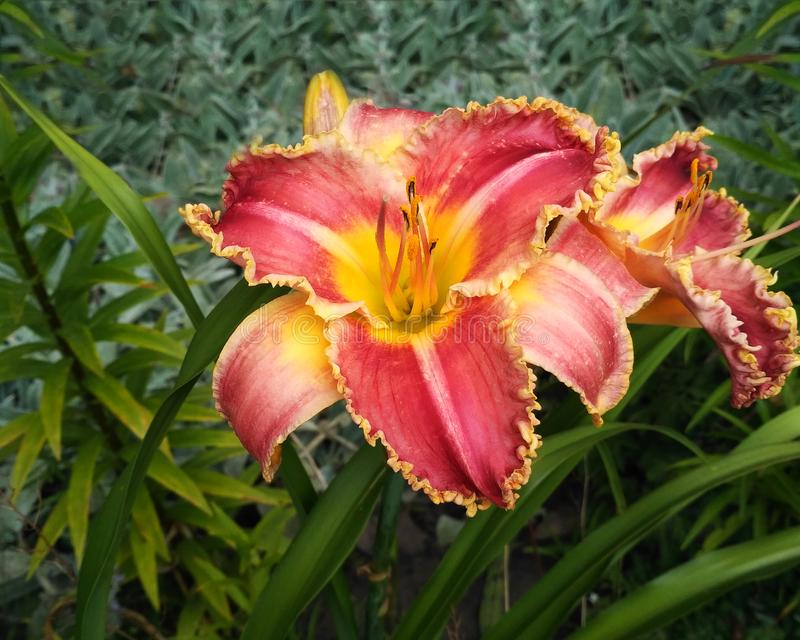 Red-yellow lily flower. Red-yellow lily on a background of green plants. Close-up stock photo