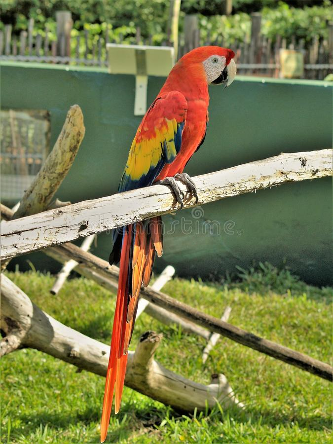 Red and Yellow Macaw at Lion Country Safari. Red and yellow Macaw sitting on limb at Lion Country Safari in West Palm Beach, Florida stock photos