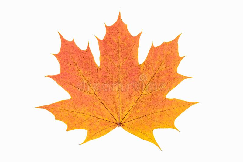 Red and yellow maple leaf as an autumn symbol as a seasonal themed concept as an icon of the fall weather on an isolated white bac royalty free stock photography