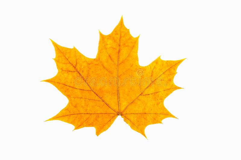 Red and yellow maple leaf as an autumn symbol as a seasonal themed concept as an icon of the fall weather on an isolated white bac. Kground stock photography