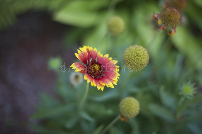 Red and Yellow Multi Petal Flower stock photos