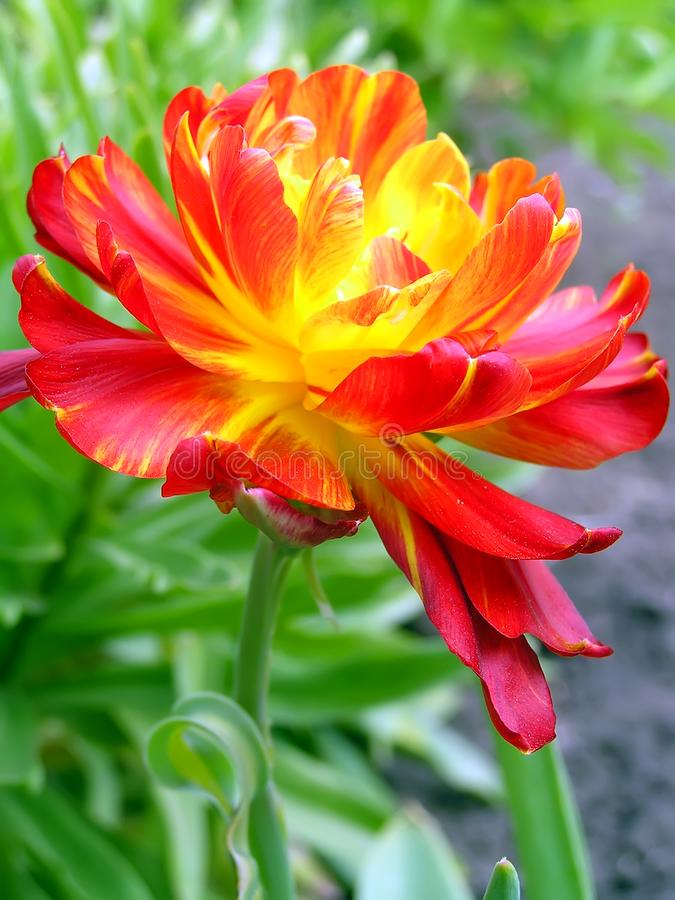 Red-yellow multipetal tulip stock images