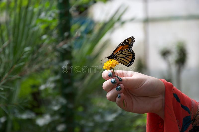A red, yellow and orange butterfly with closed wings on a flower in someone`s hand. A lady with painted nails holds a small yellow flower wiht an orange, yellow royalty free stock image