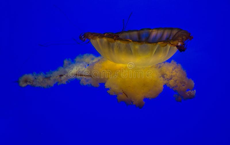 Red Yellow Orange Jellyfish on solid blue background royalty free stock photos