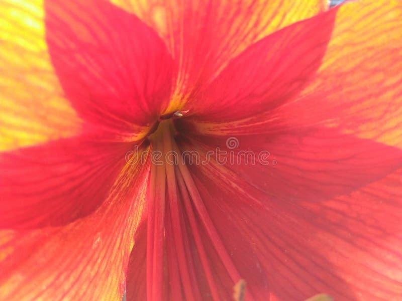 Red yellow orange star burst flower royalty free stock image