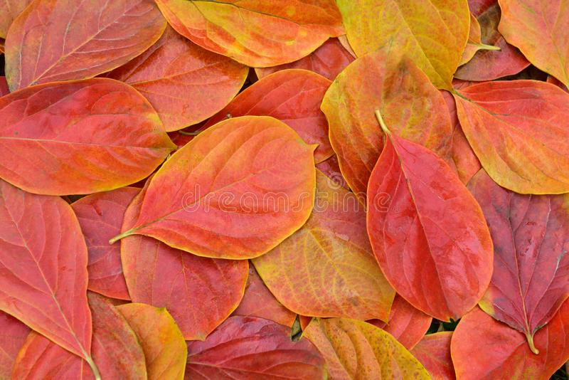 Red and yellow persimmon leaves. In autumn, North China.The persimmon leaves change from green to red and yellow due to the temperature drop stock photo