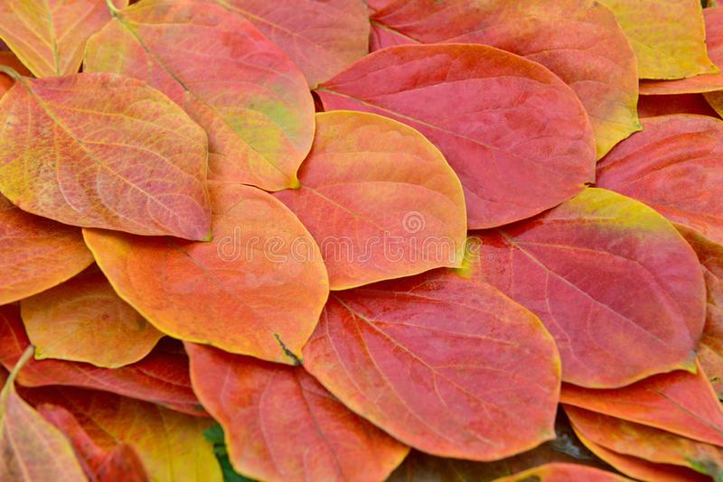 Red and yellow persimmon leaves. In autumn, North China.The persimmon leaves change from green to red and yellow due to the temperature drop stock image