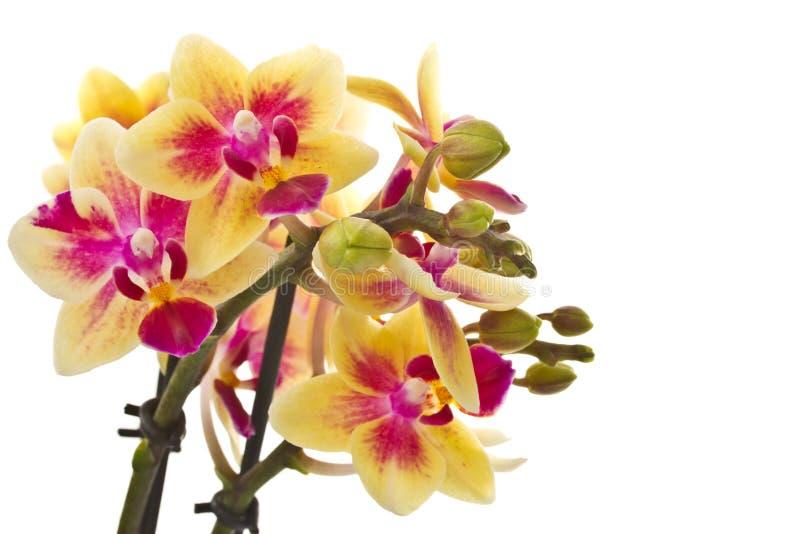 Red yellow Phalaenopsis stock photo